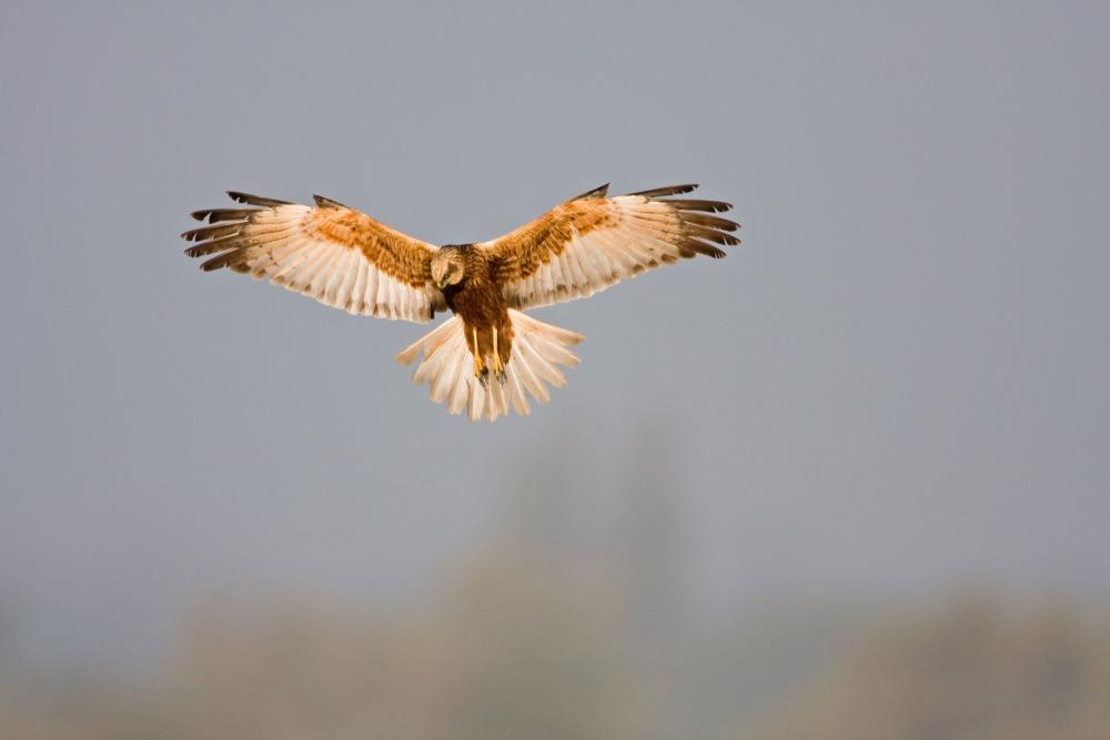 Hovering marsh harrier
