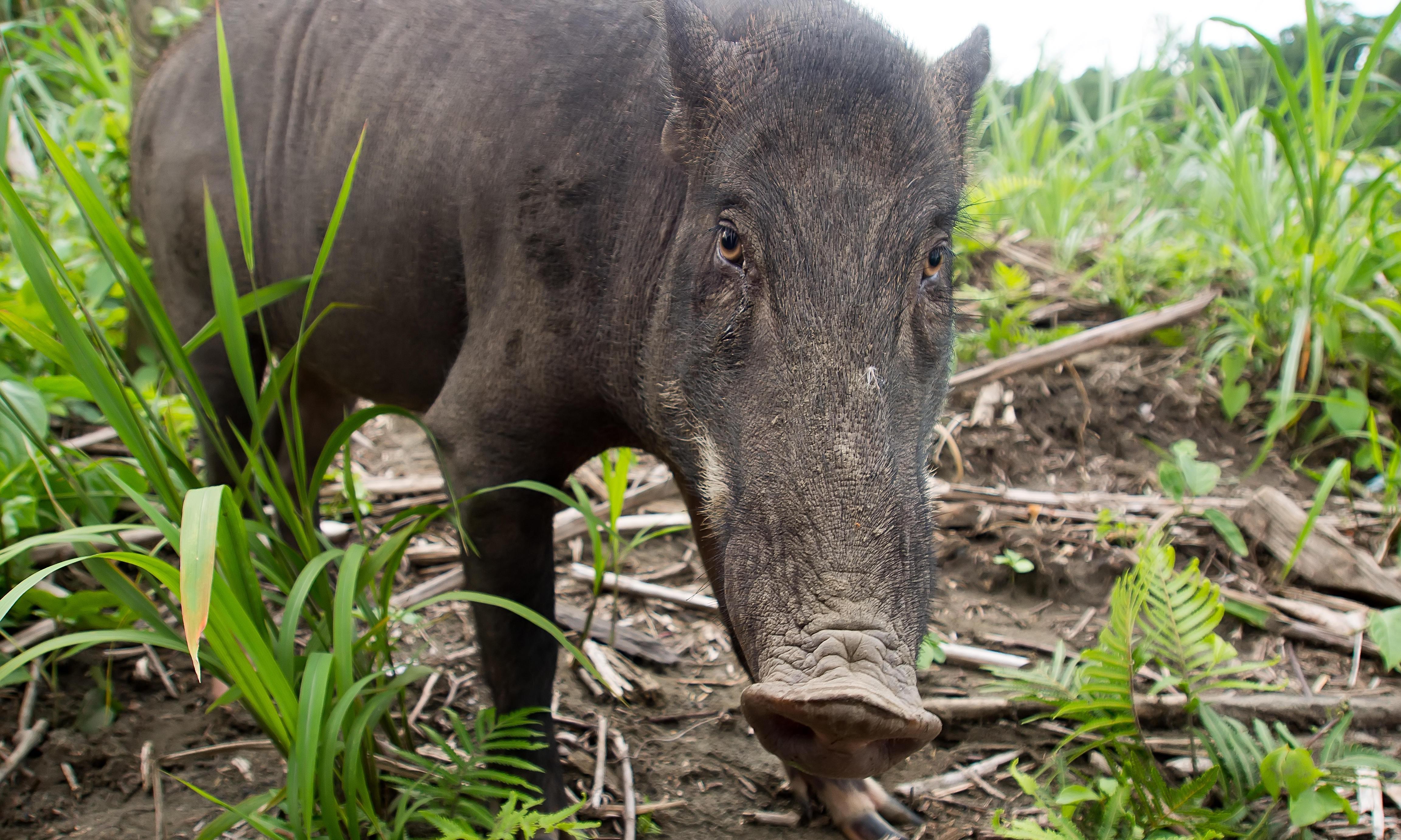 'Seaborne invasion' of wild boar swamps mystical Malaysian island