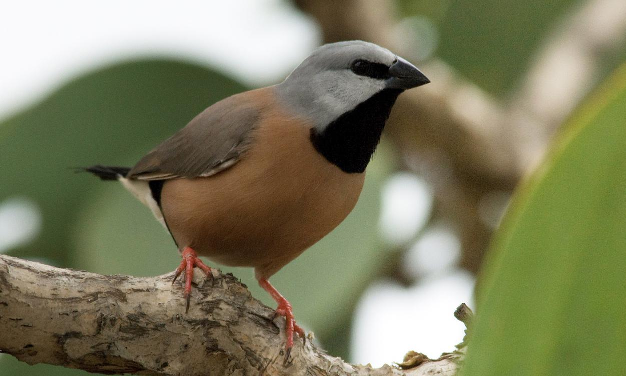 Black-throated finch wins 2019 bird of the year with tawny frogmouth second