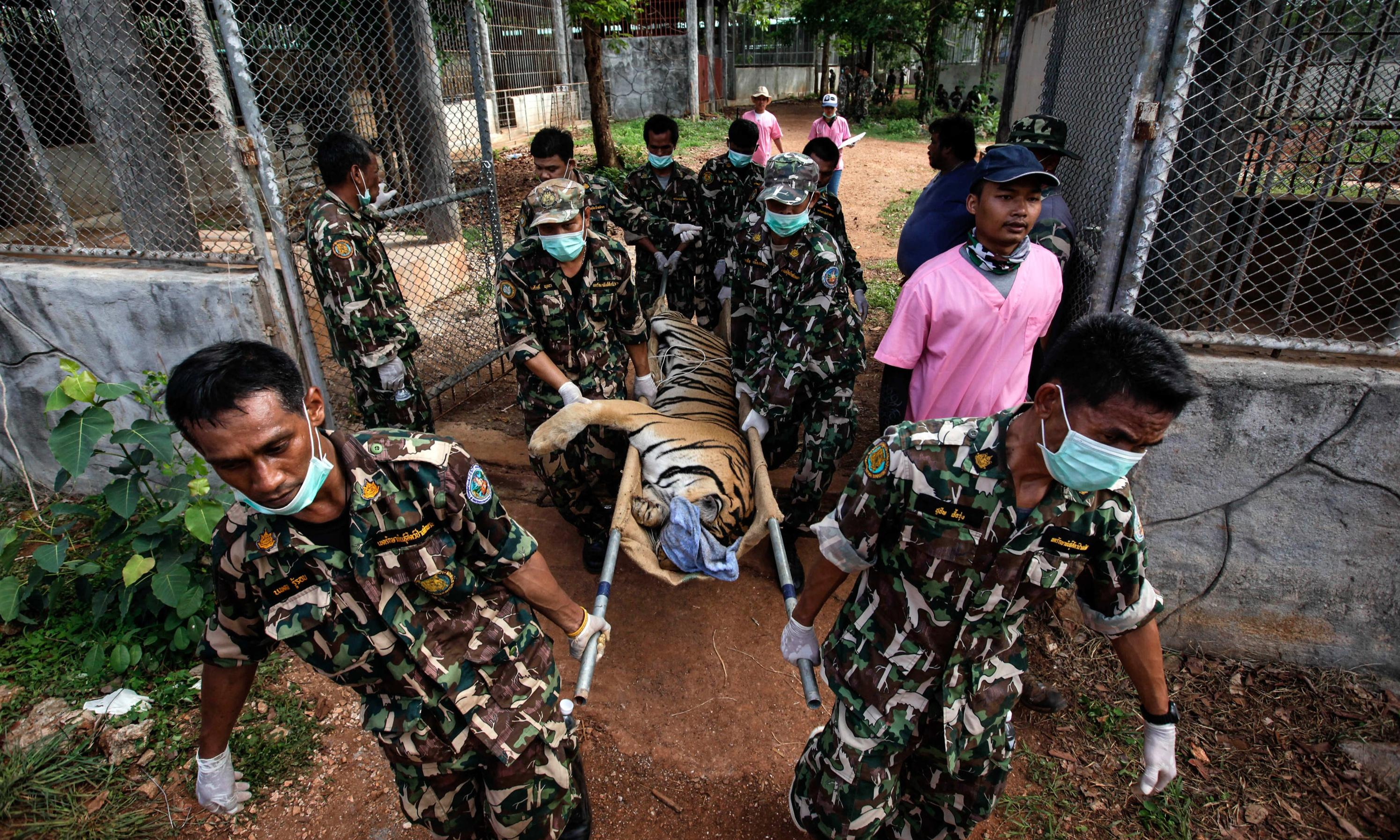 Half of tigers rescued from Thai temple have died, officials say