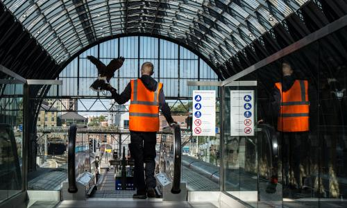 Max Bell, 26, with his Harris hawk at King's Cross station in London. The handler is employed to fly hawks at the train station to scare off pigeons