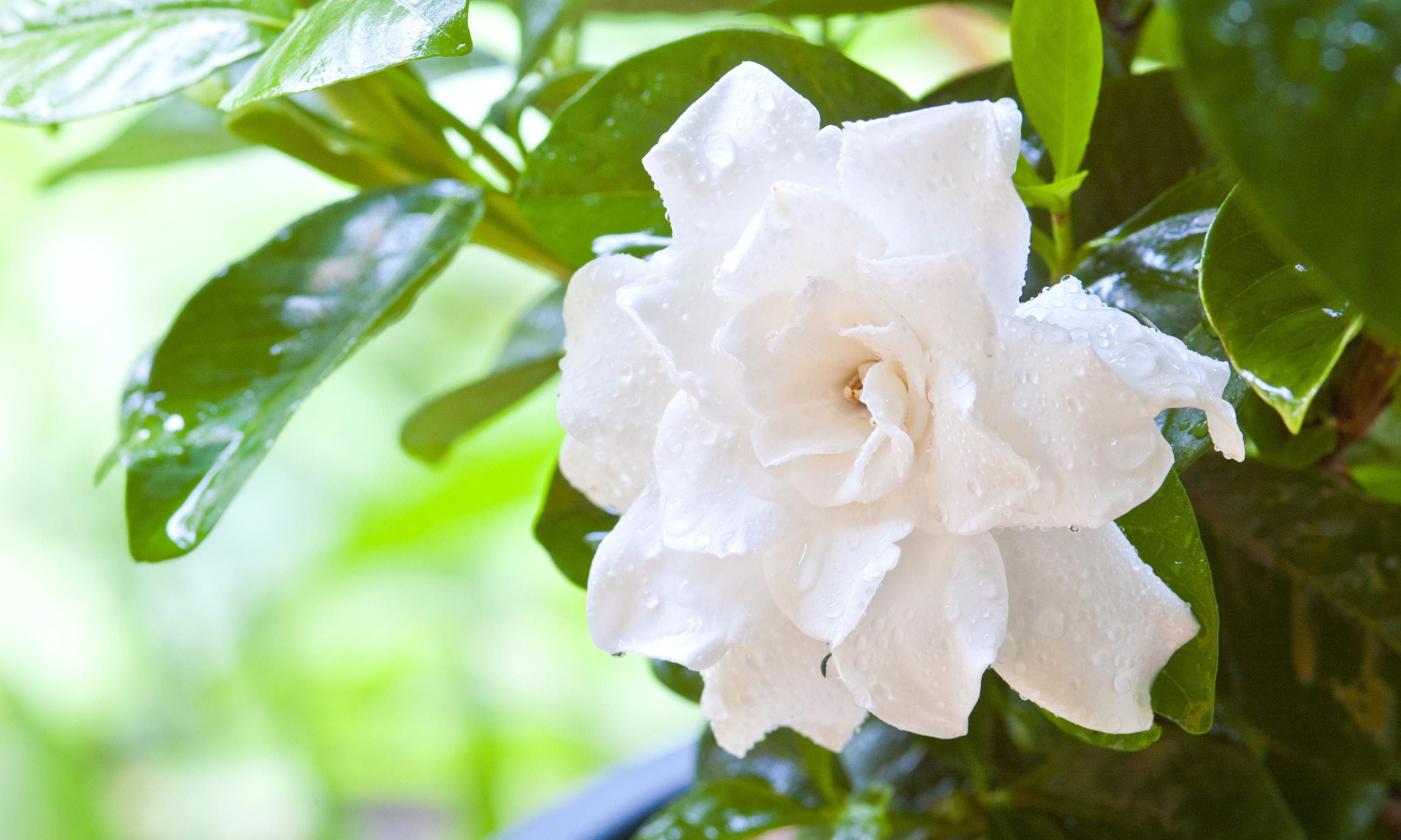 Essence of jasmine: fragrant memories of childhood, love, and comfort