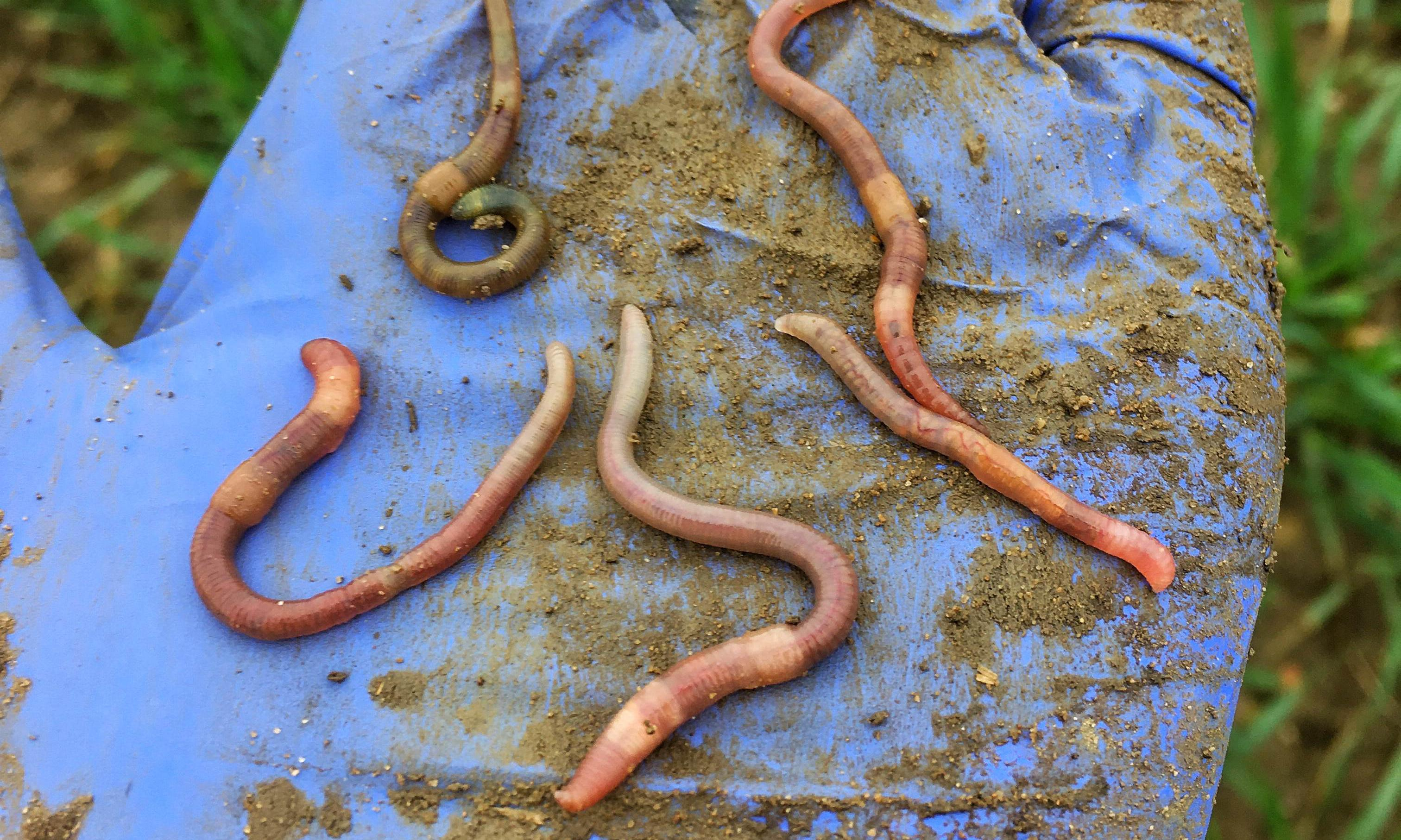 Specieswatch: farmers fight to save Britain's disappearing earthworms