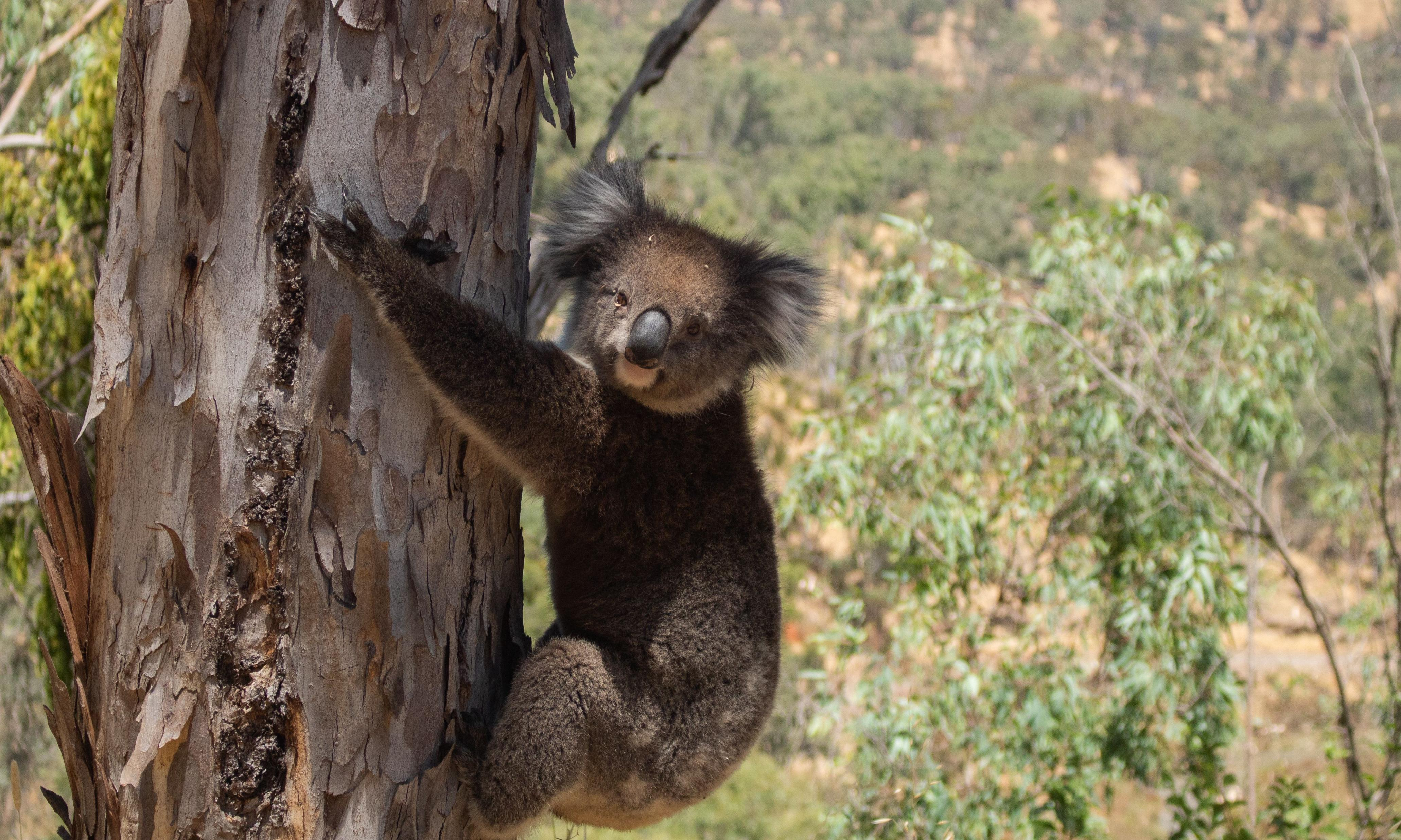 Koala 'massacre': scores of animals found dead or injured after plantation logging