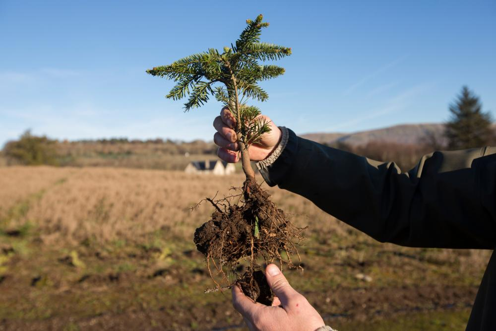 planting - How Long Does A Christmas Tree Take To Grow