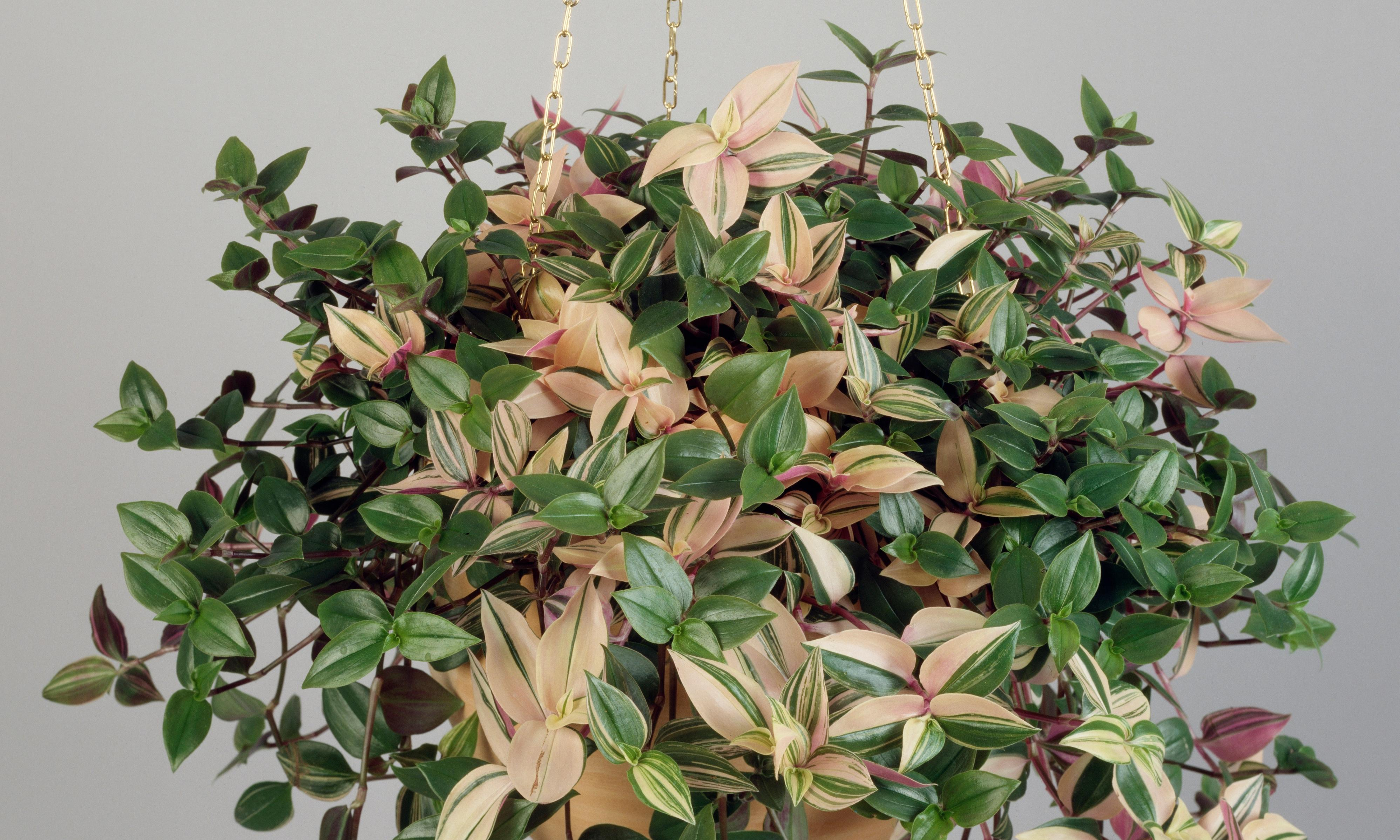How to grow tradescantia