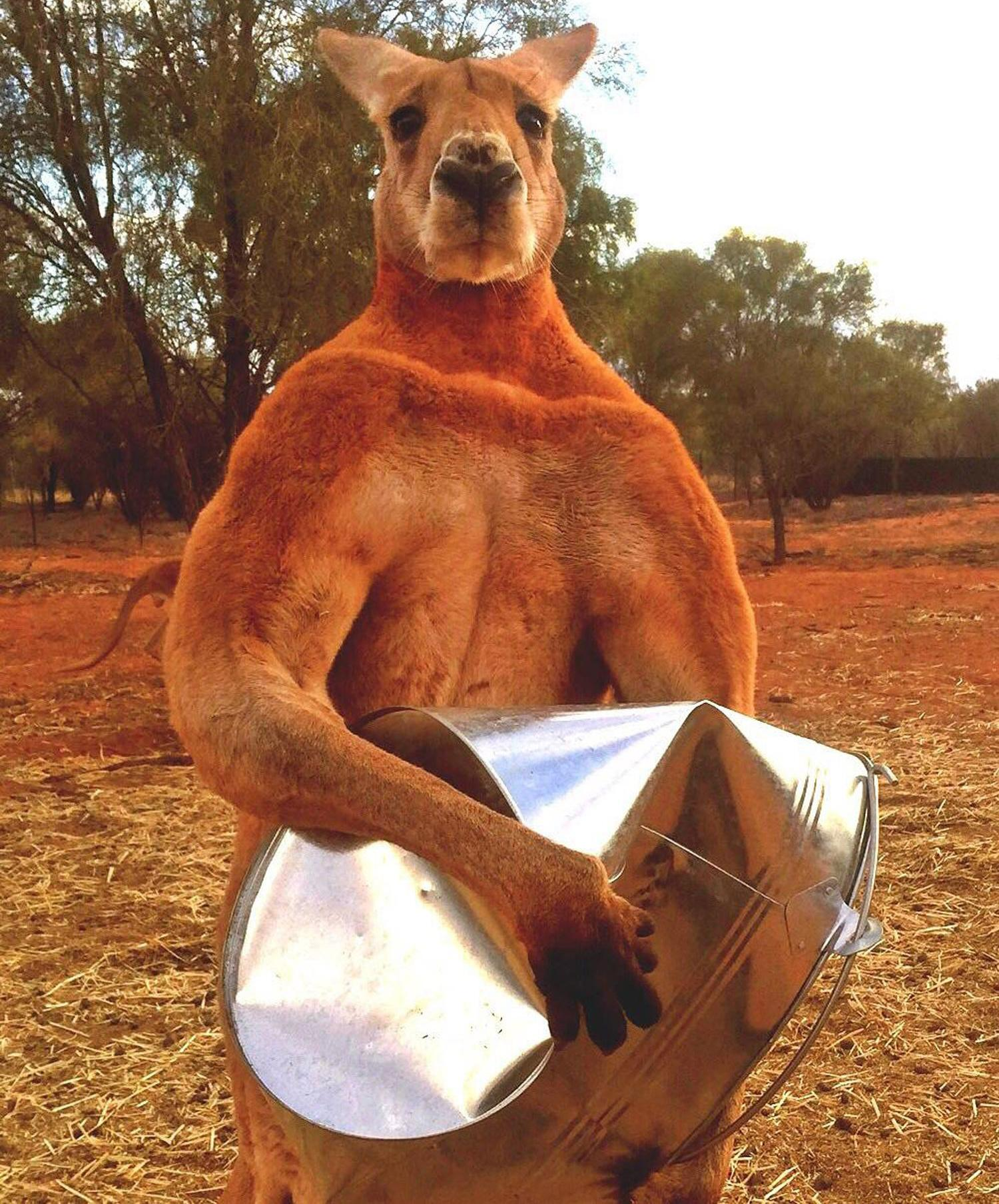 Death of Roger, the ripped kangaroo, sparks outpouring of grief on social media