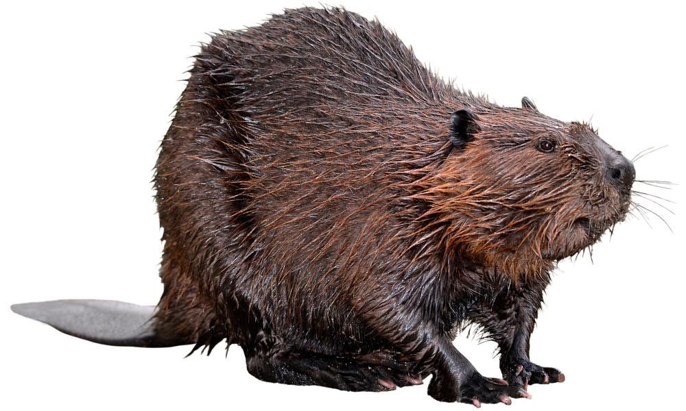 A North American beaver.