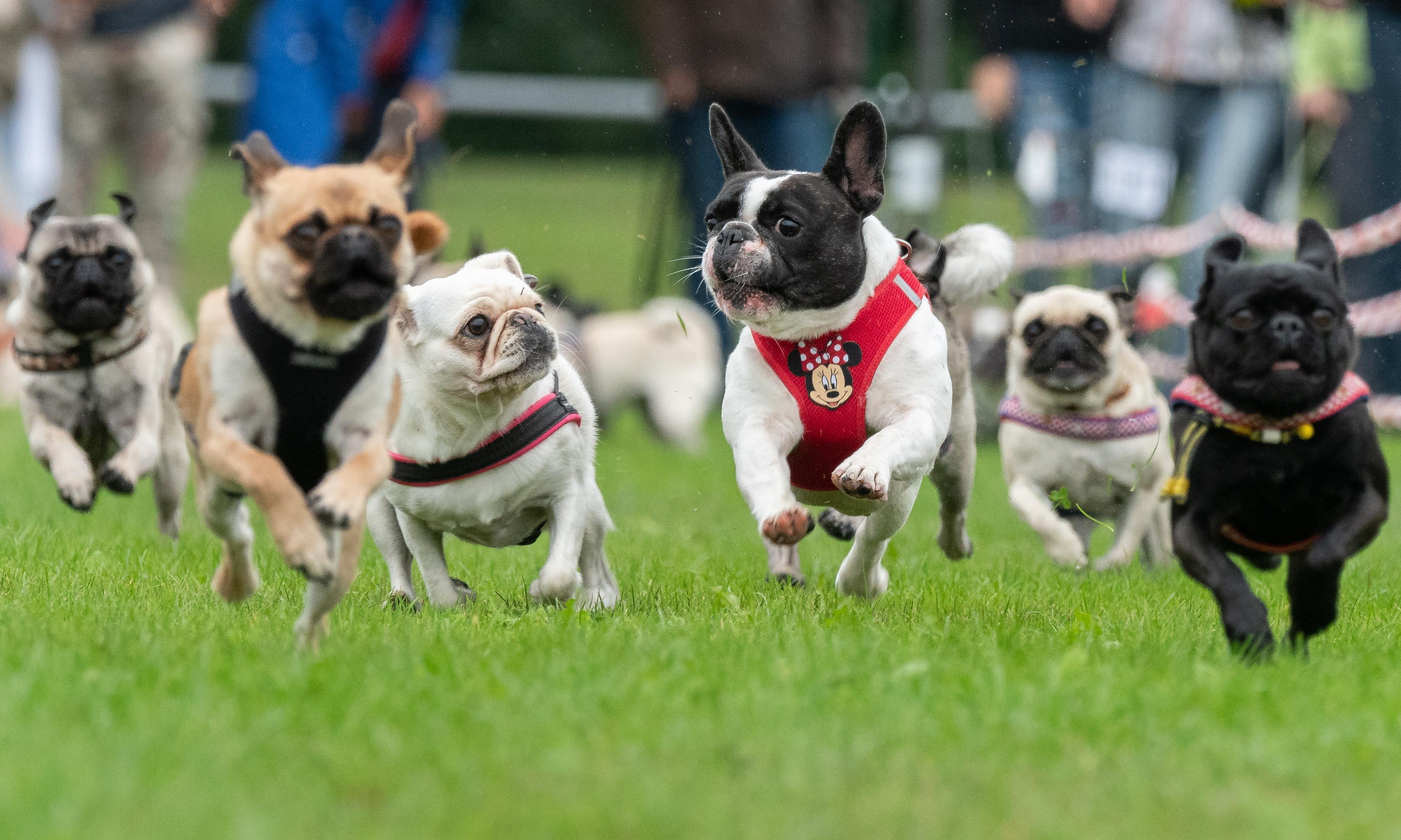 Owners urged to snub fashion as high cost of flat-faced dogs revealed