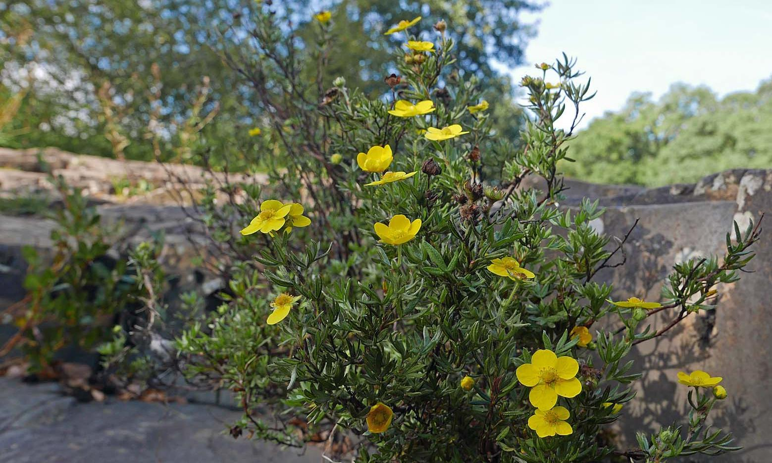 Country diary: shrubby cinquefoil is an epitome of wildness and tenacity