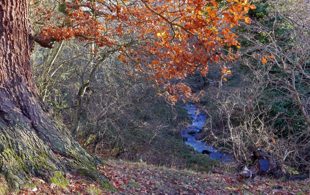 Coundon burn, meandering through trees