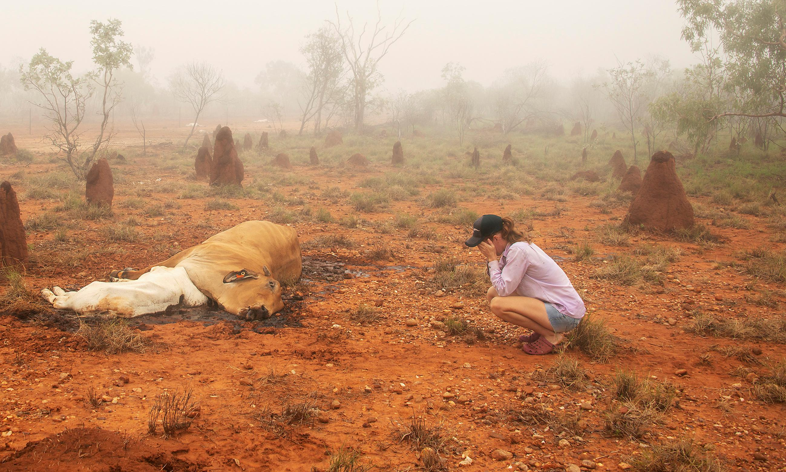 'We have death and devastation at every turn': the flood massacre of Queensland cattle