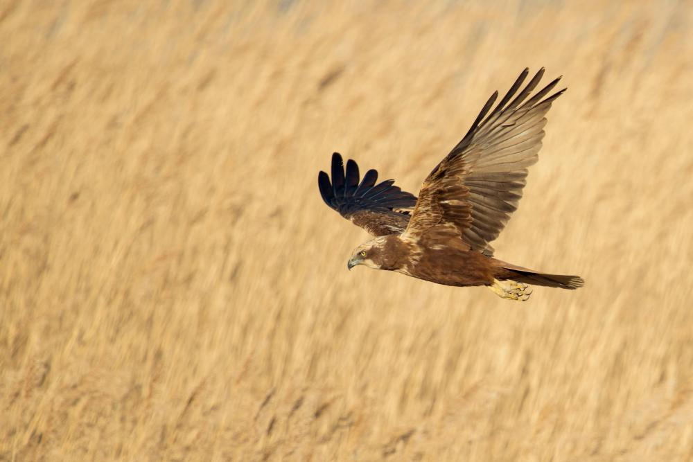 Female marsh harrier flies over a reed bed.