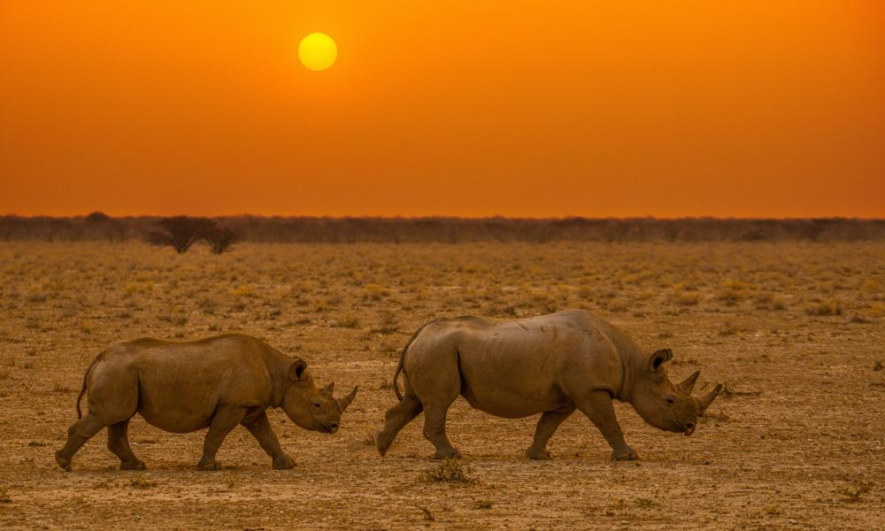 Black rhinos traverse the semi-arid wilderness of northern Namibia