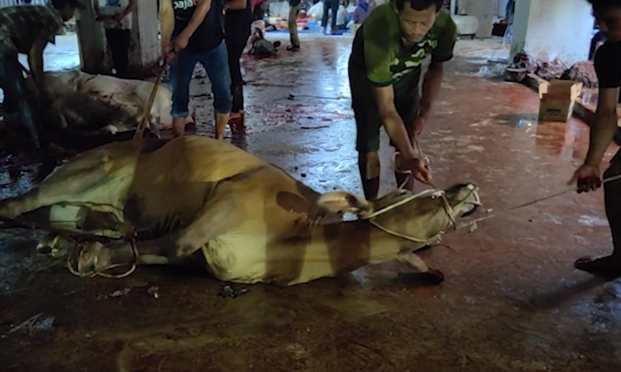Live export footage shows Australian cattle dragged by ropes before slaughter in Indonesia