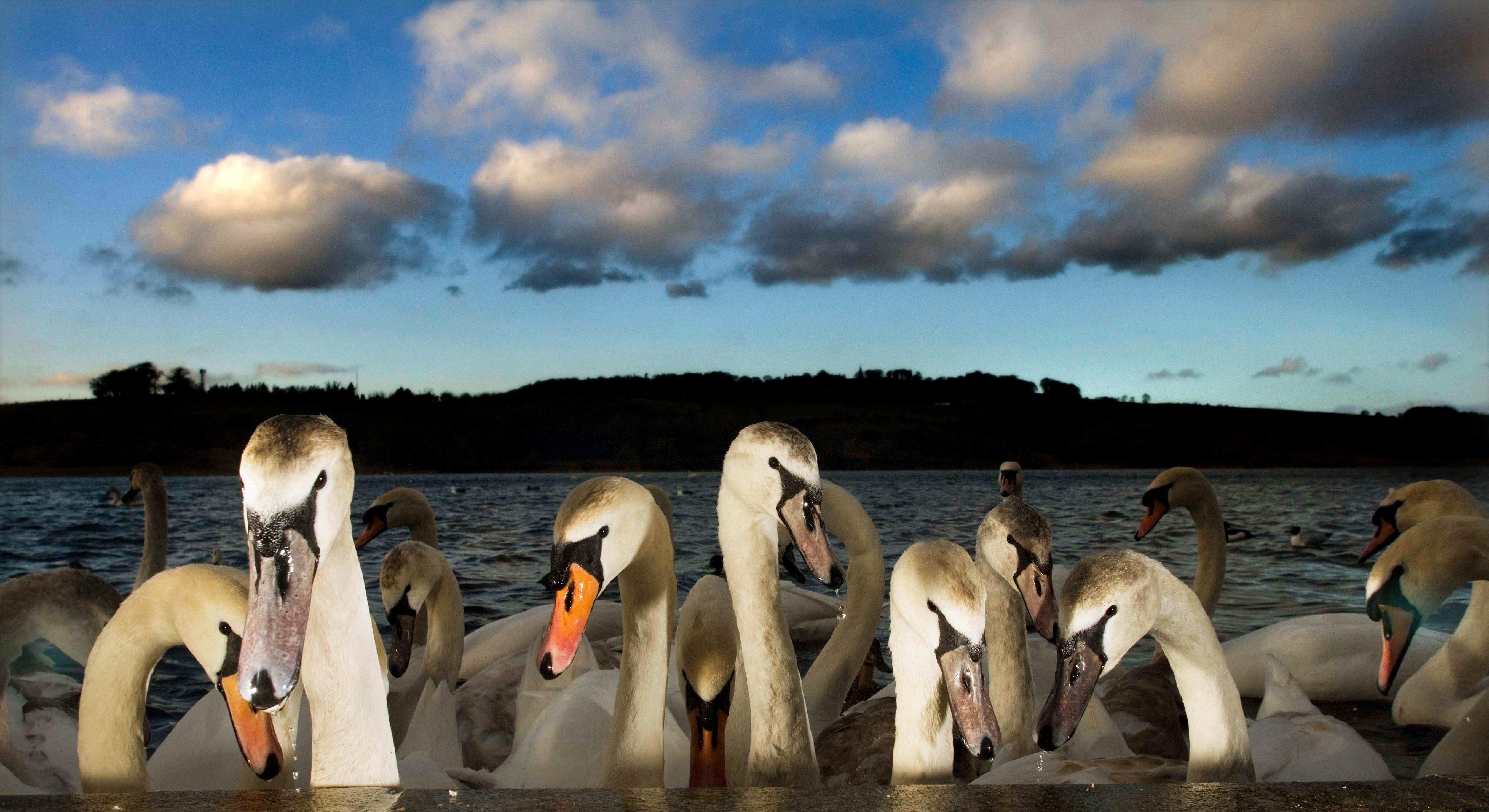 Buy a classic Guardian photograph: Swans at dusk at Linlithgow, Scotland