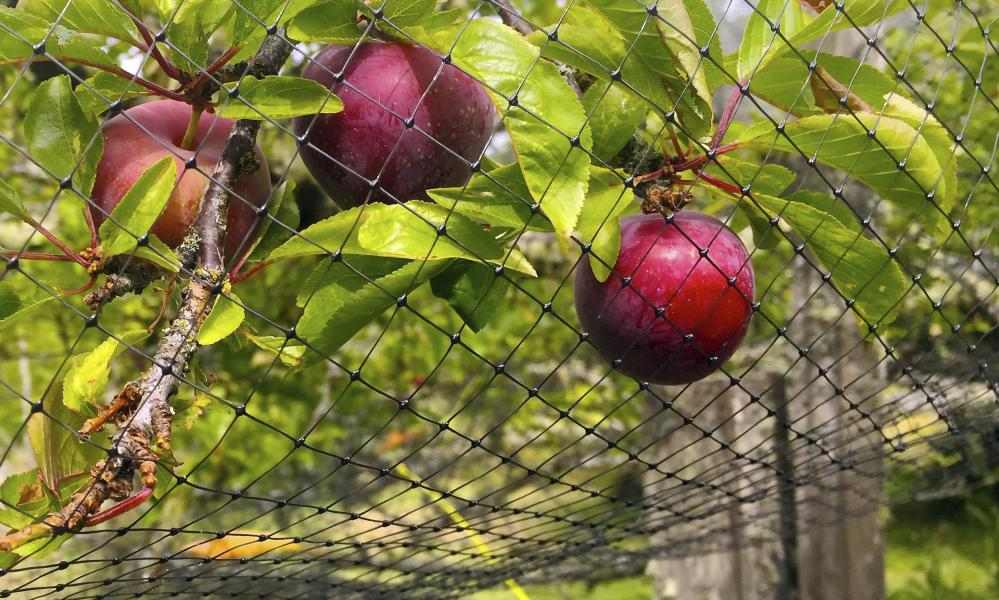 Netting that has been thrown over a small fruit tree to discourage foraging by birds.