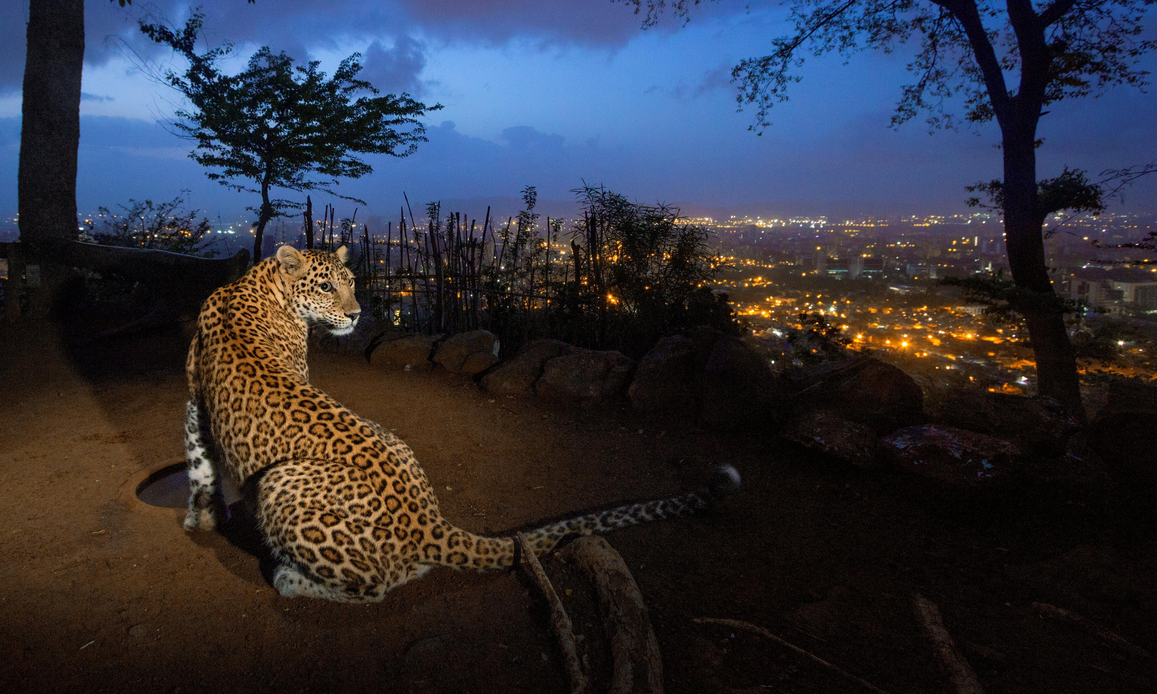 Mumbai's leopards have killed humans – but could they also be saving lives?