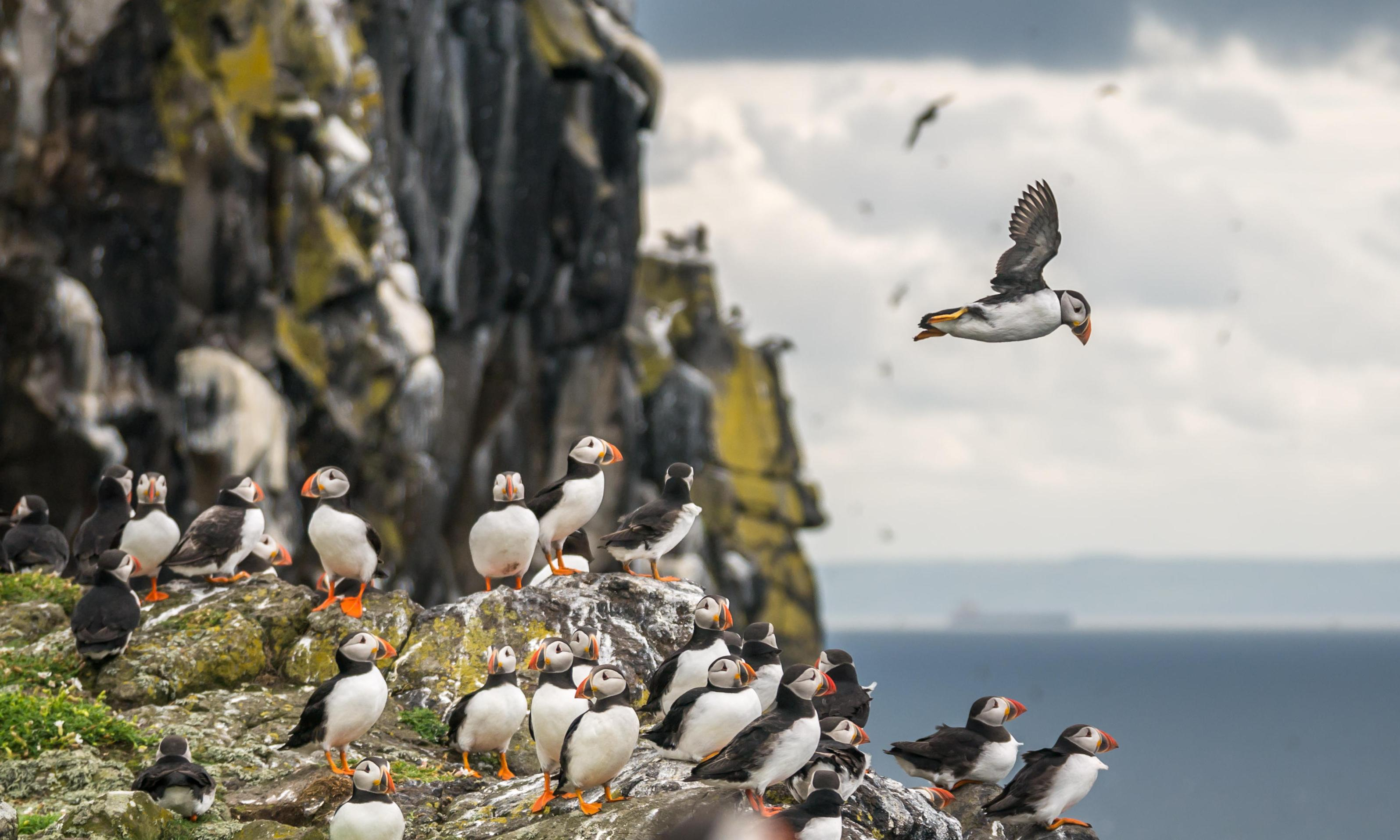 Puffin classics: a wildlife tour of eastern Scotland