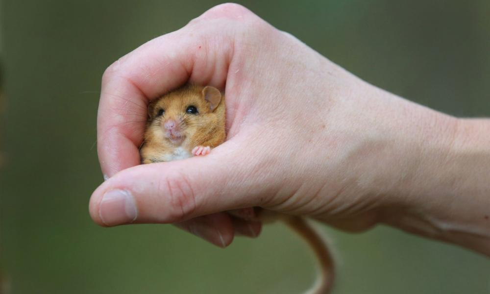 Ground-breaking research has provided us with more information about the dormouse that will have a great impact in its survival