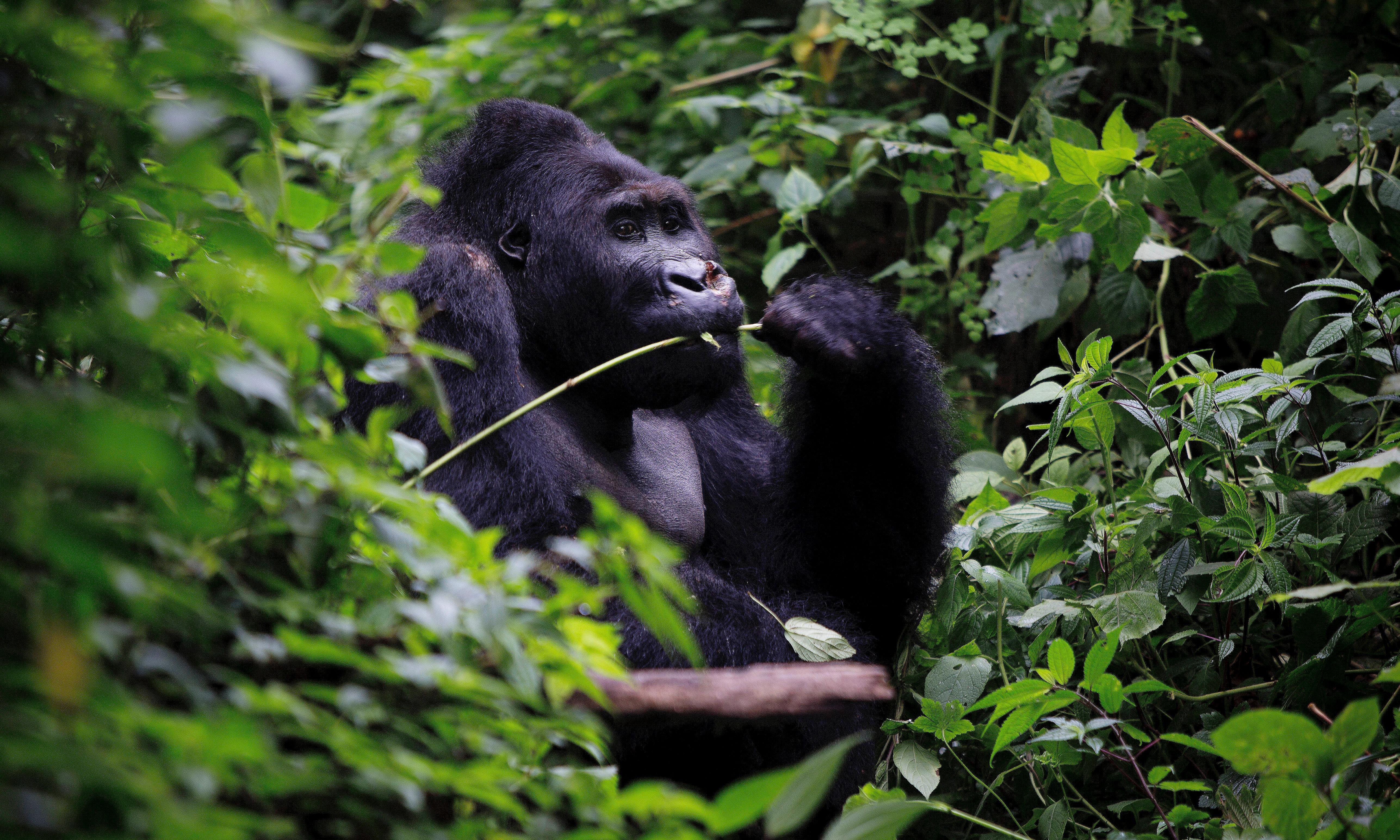 Clash between Pygmies and DRC gorilla sanctuary rangers leaves one dead