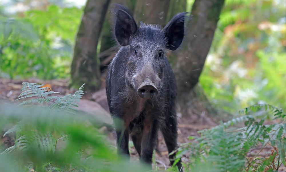 Wild boar in the Forest of Dean: the Forestry Commission has set up gun towers