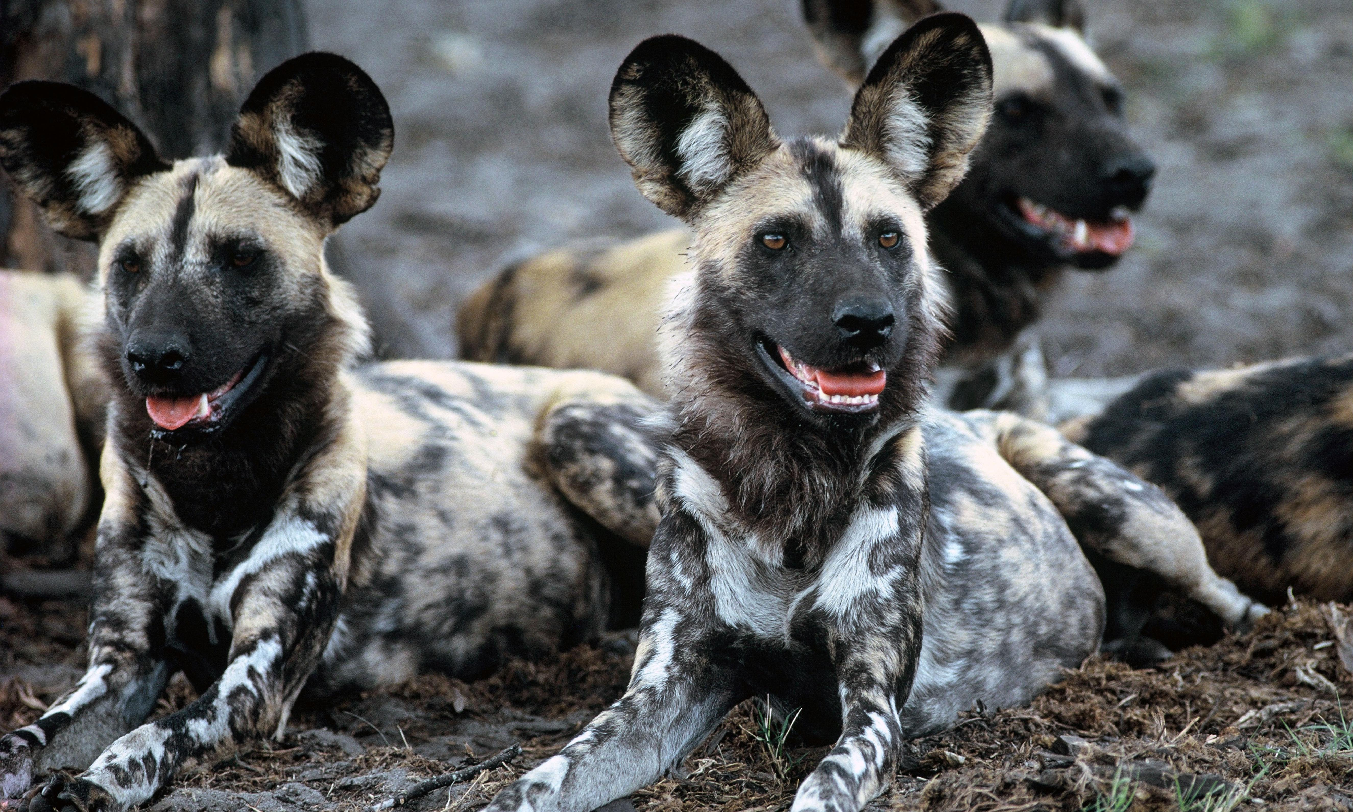 African wild dogs kill 16 animals at West Midlands safari park