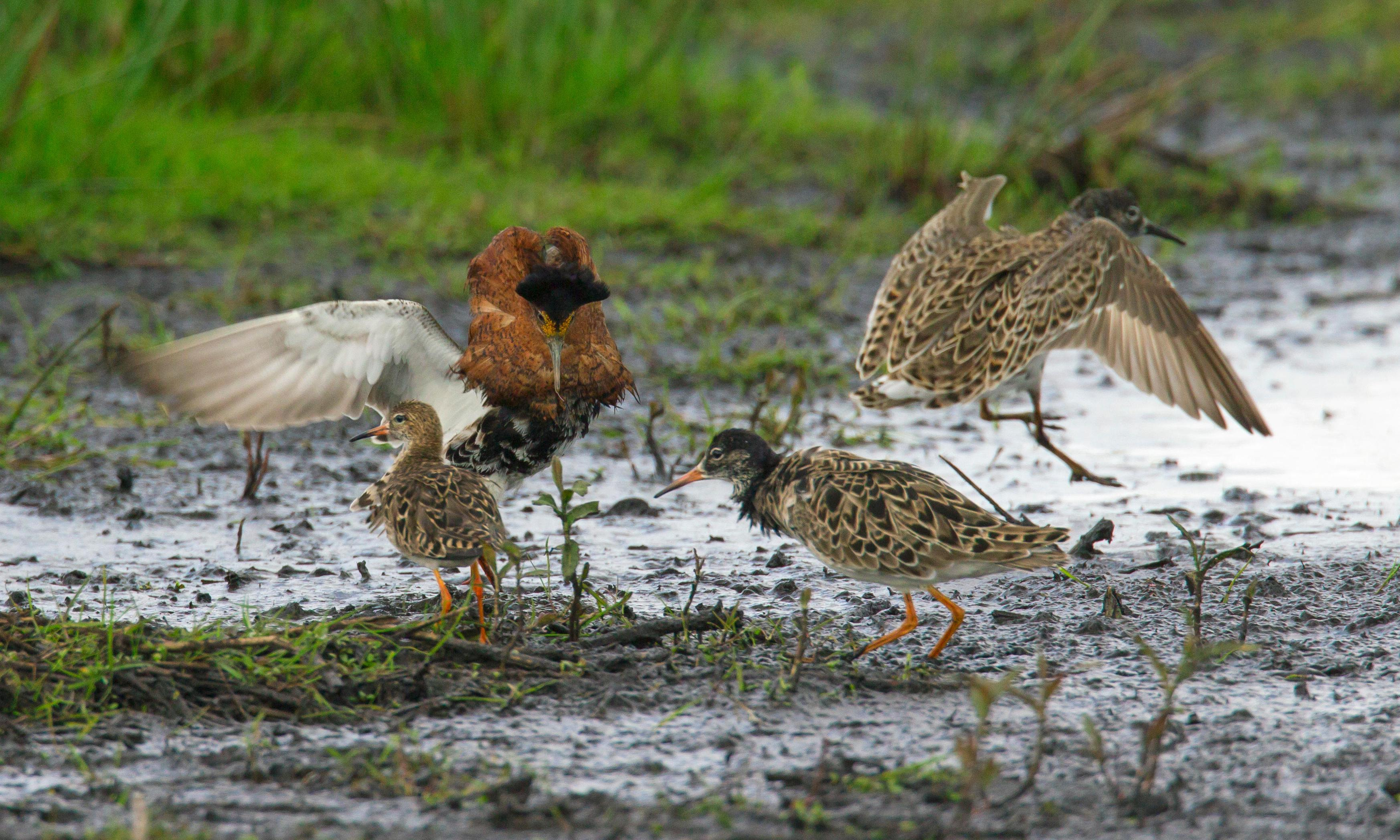 Country diary: a continent of birds descends on this vast expanse of silt