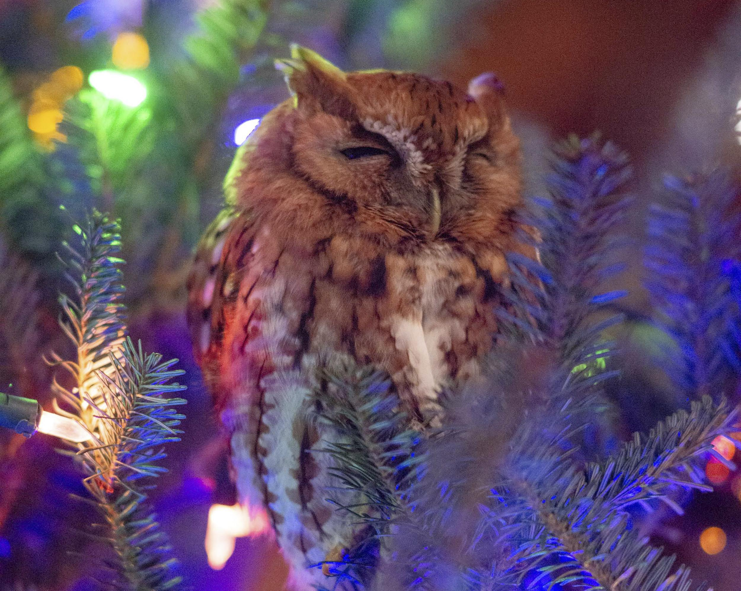 Family finds owl in Christmas tree after a week: 'He was hugging the trunk'