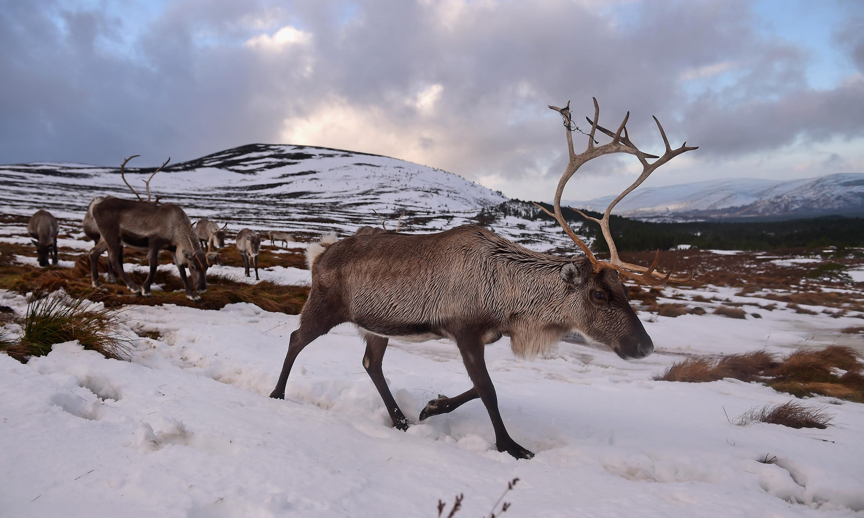 Arctic conditions force Cairngorm reindeer down mountain - Country diary, 21 April 1969