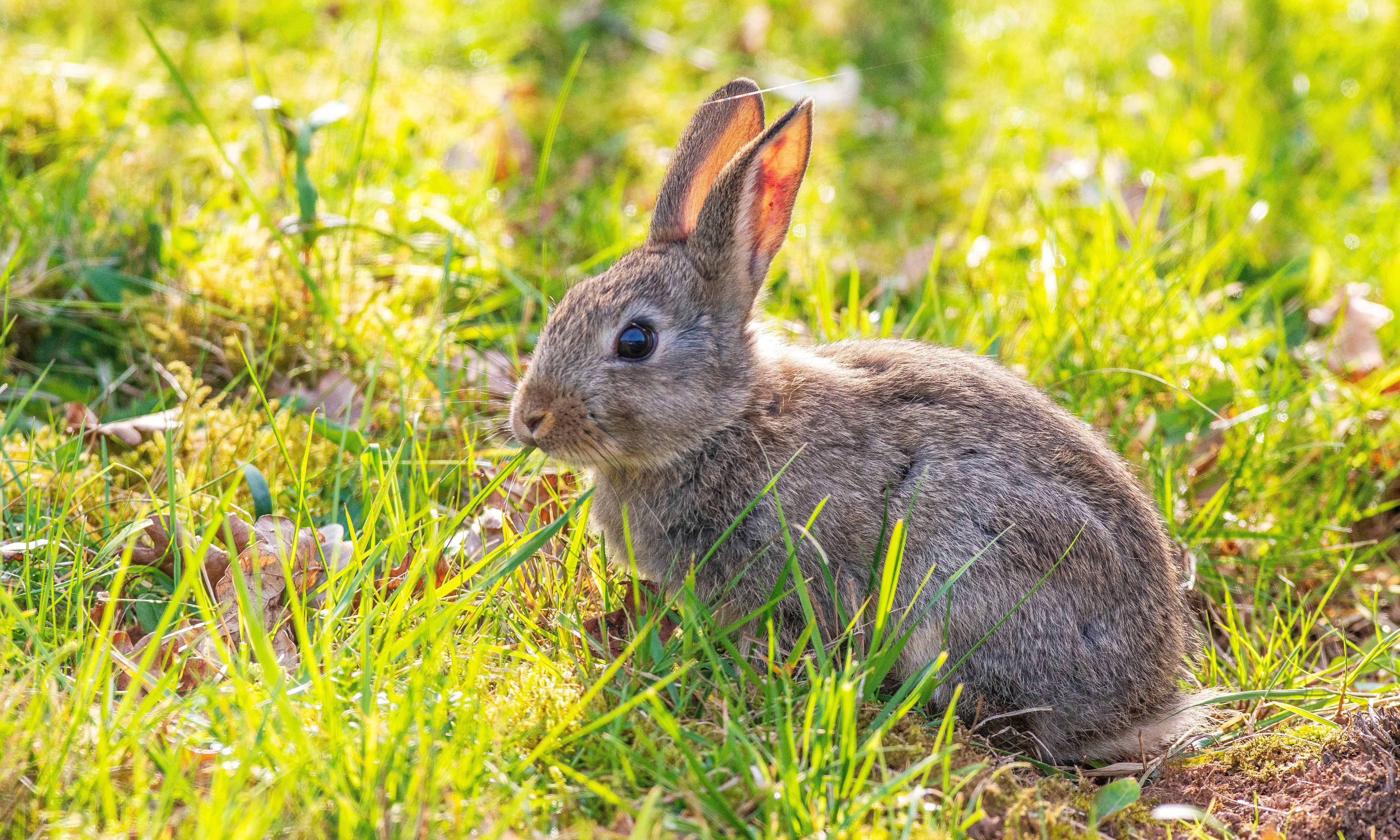Burrowing down to carbon date 'Roman' rabbits
