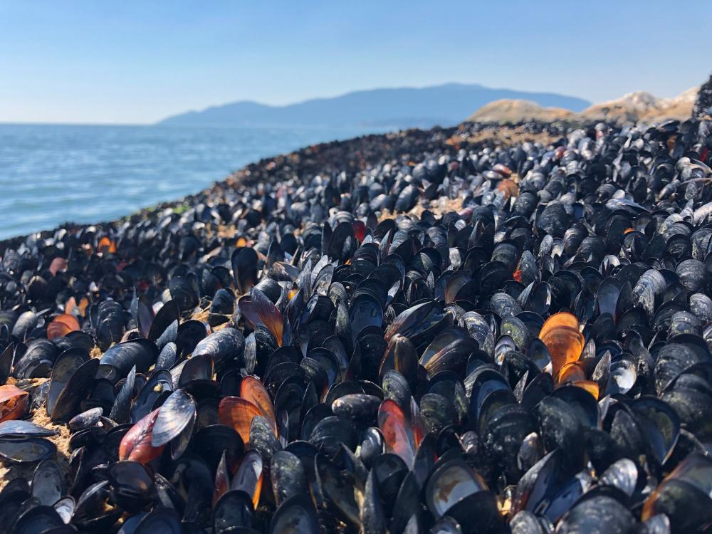 Dead mussels at the waterline in British Columbia.