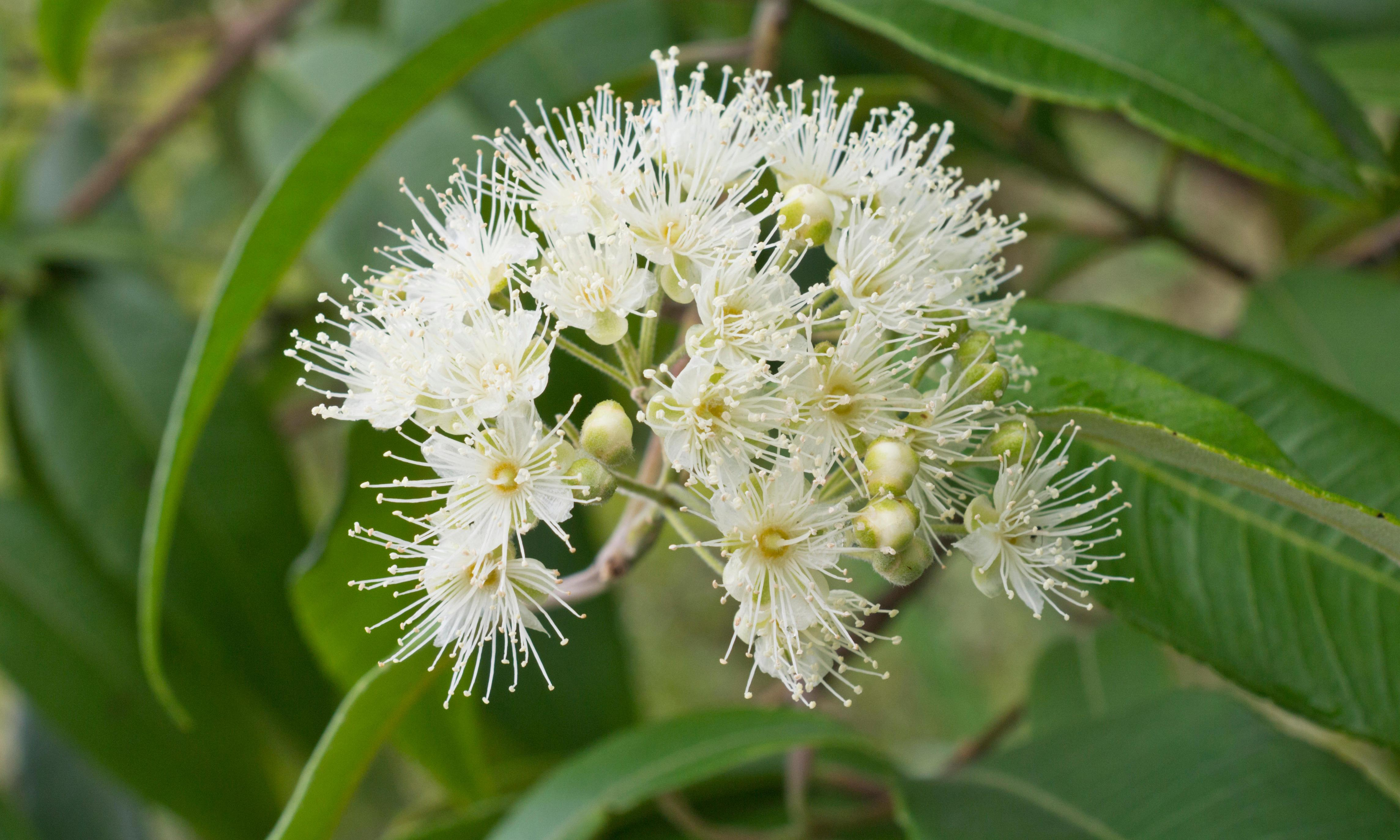 Super flower: lemon myrtle can clean, cook and makes great marshmallows