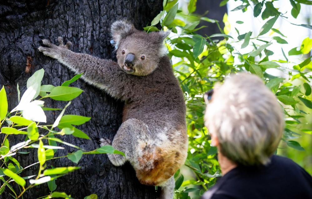 Cheyne Flanagan watches Anwen the koala being released into the Corduroy area where he was originally found injured.