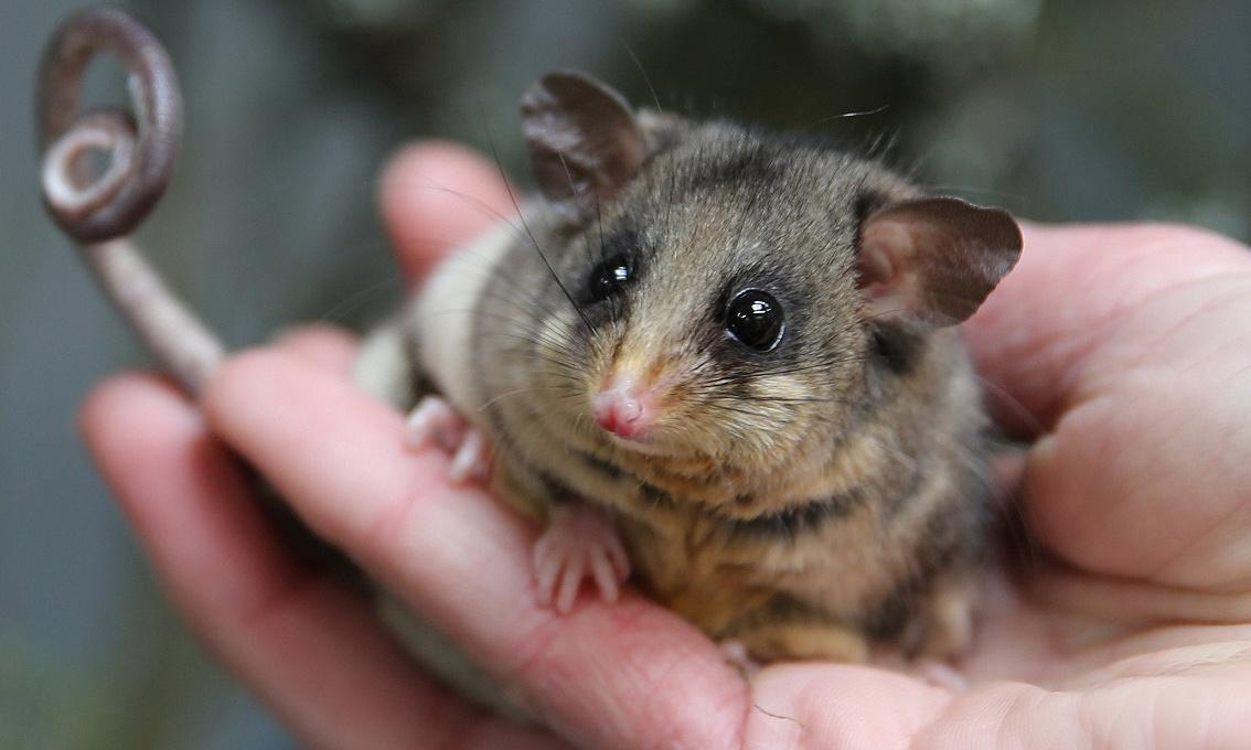 A new home could save the mountain pygmy possum from global heating, scientists say