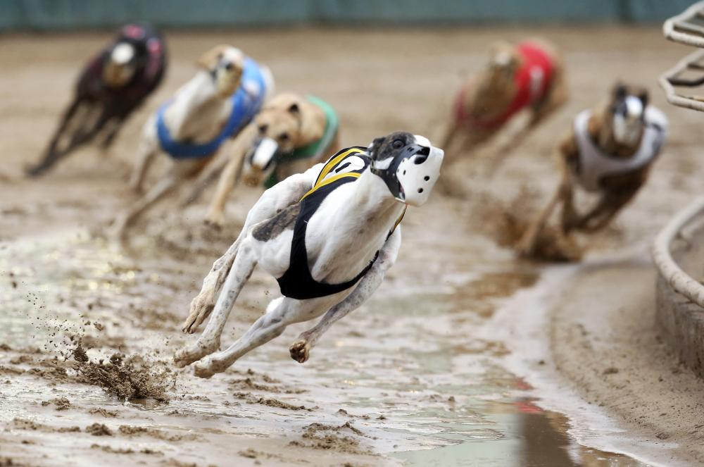 Fifty greyhounds have been killed and 2,342 injured on NSW racetracks so far this year.