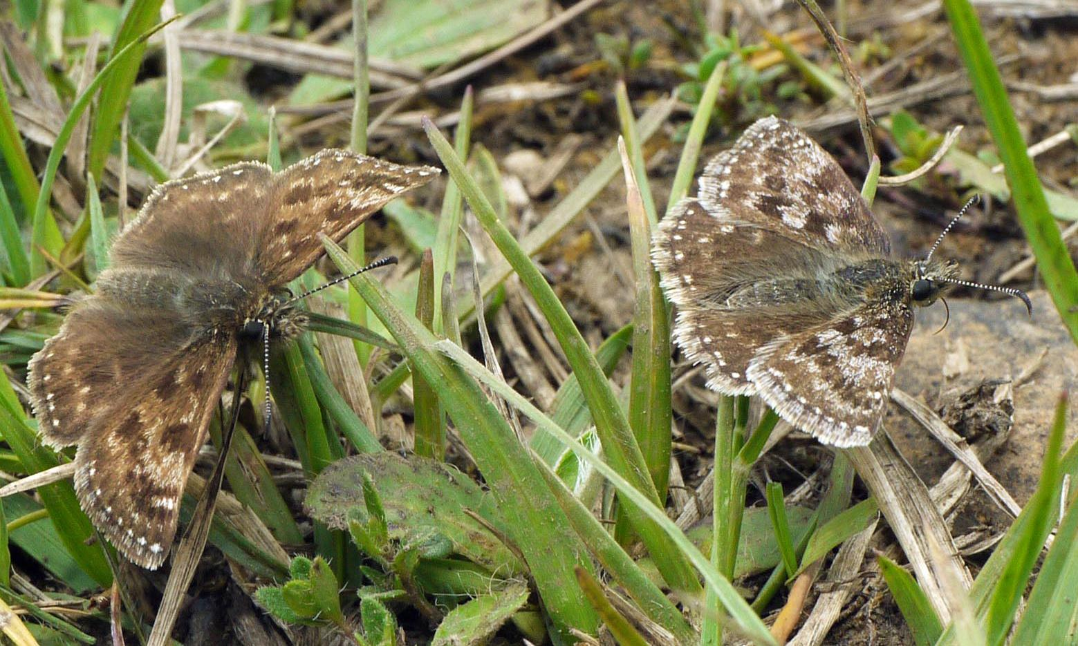 Country diary: quarry spoil is dingy skipper heaven