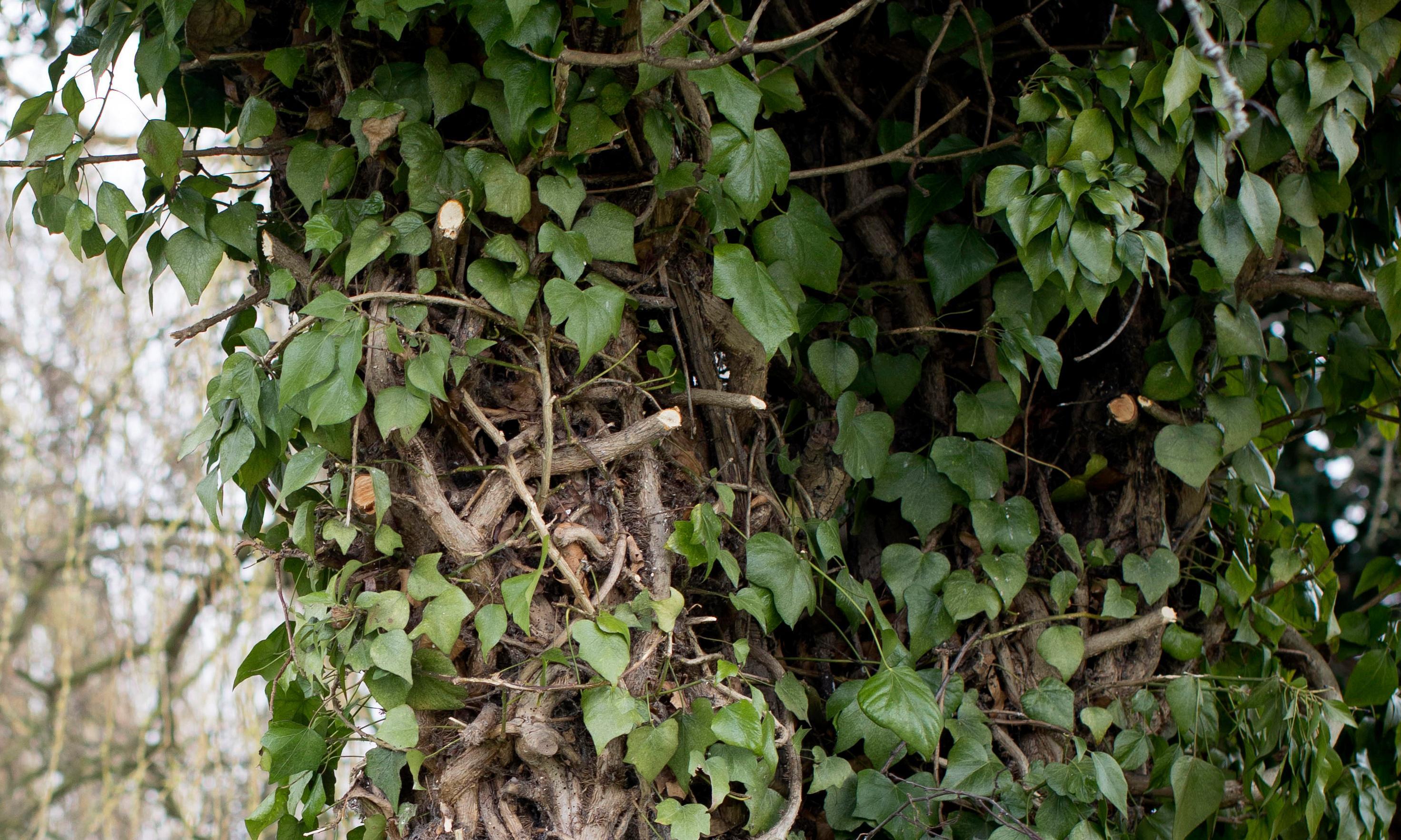 Poem of the week: Ivy Leaves by Patricia McCarthy