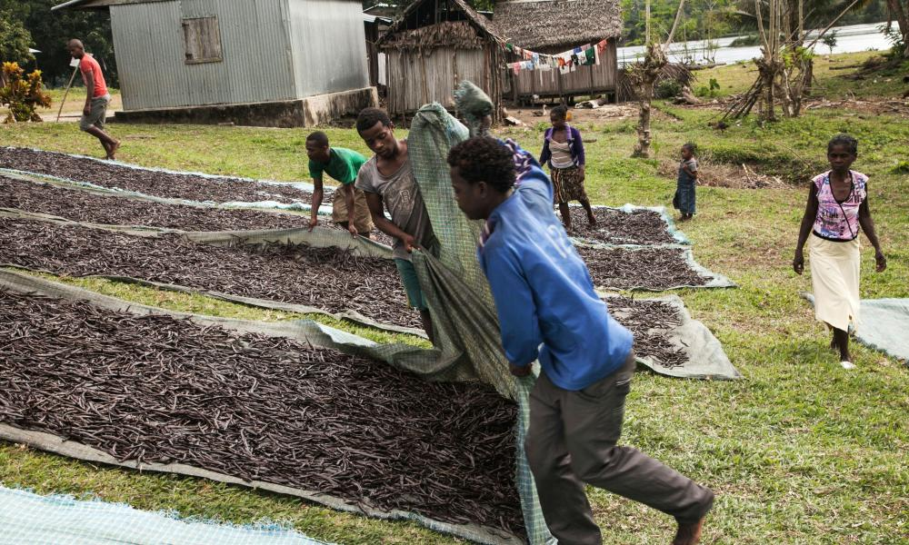 "Workers spread ""red vanilla"" (vanilla which has been treated by a special cooking) in the sun to be dried on May 25, 2016 in the Municipality Bemalamatra, 30 kms from Sambava, Madagascar"