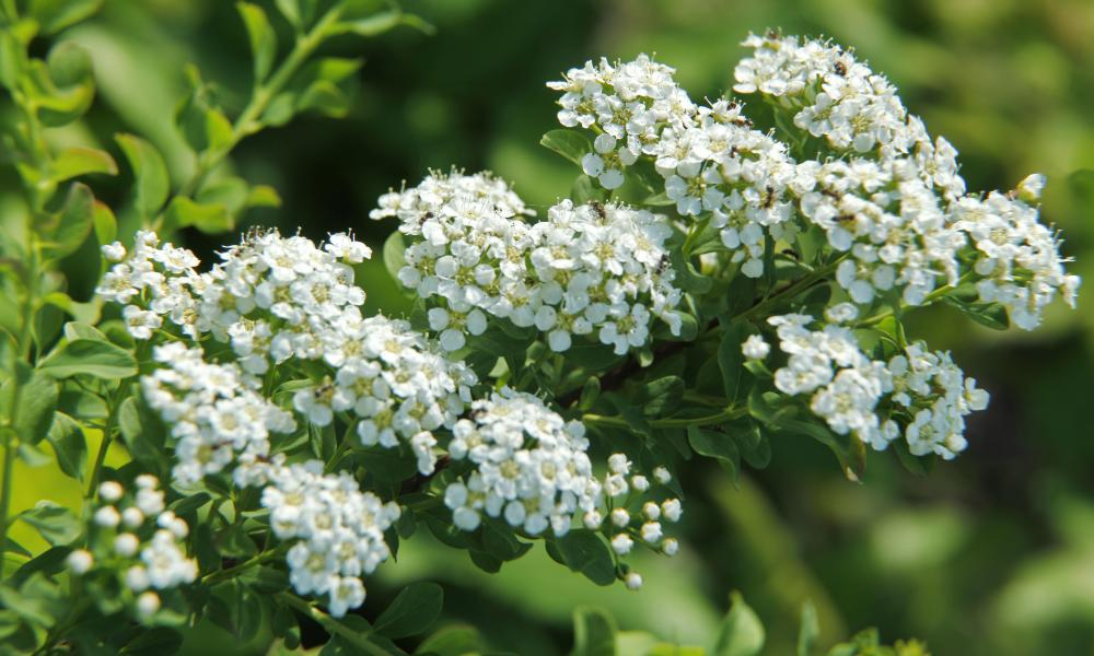 Meadowsweet … 'No one cares if you were roaming fields at 5am picking it.'