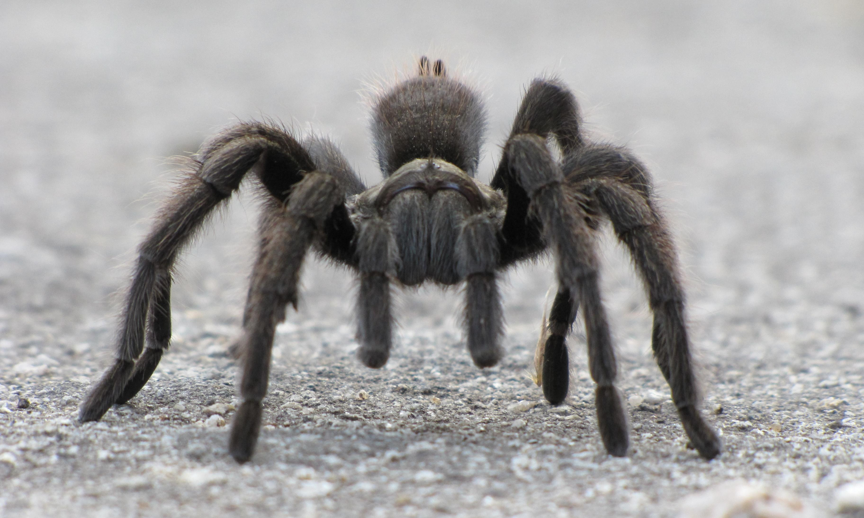 'Ding dong, it's time': dancing tarantulas emerge in droves to mate in western US