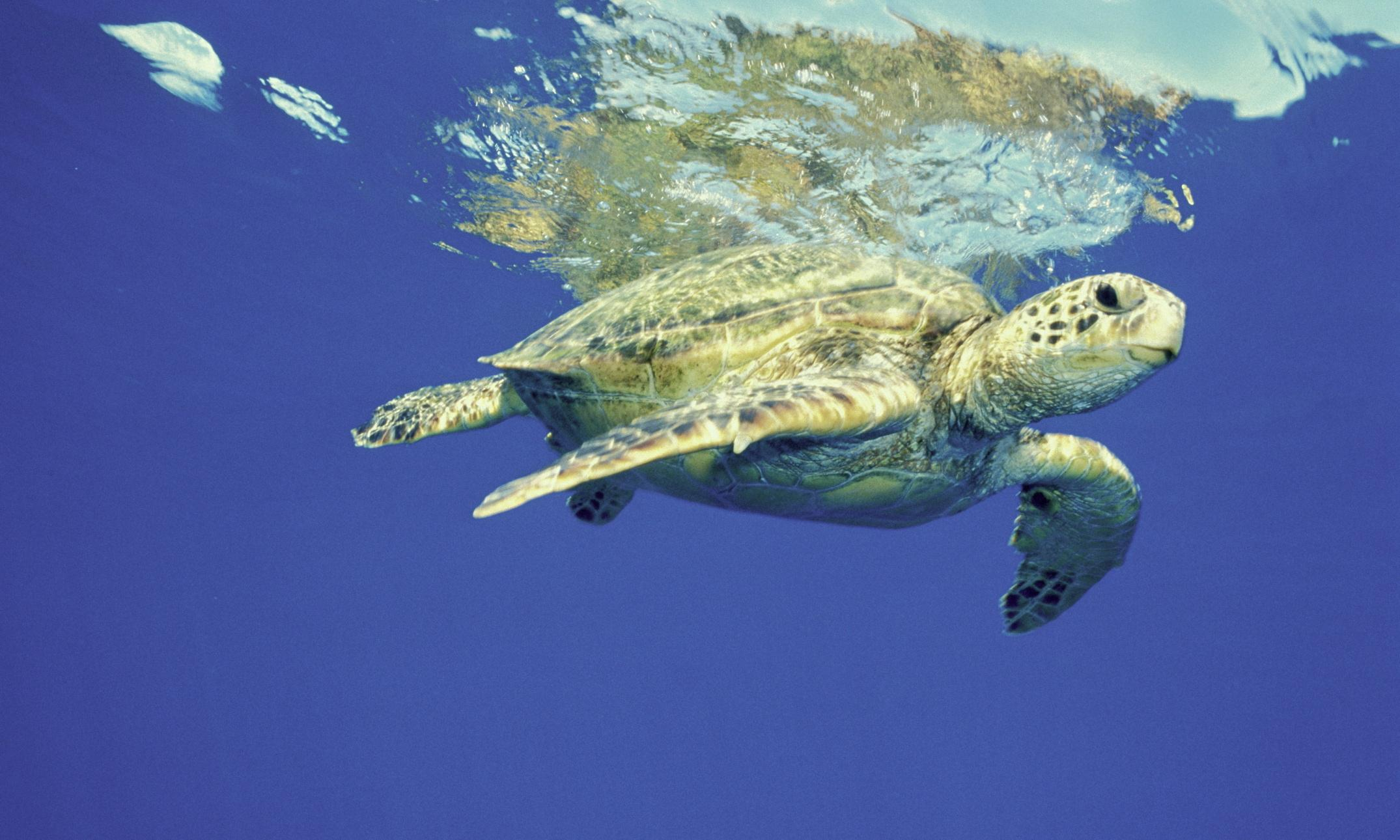 Study finds 'alarming' levels of chemicals in Great Barrier Reef turtles