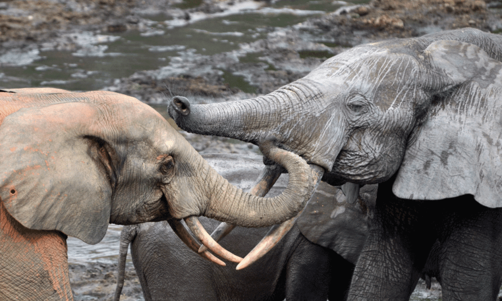Two elephants playing and communicating next to a drinking hole