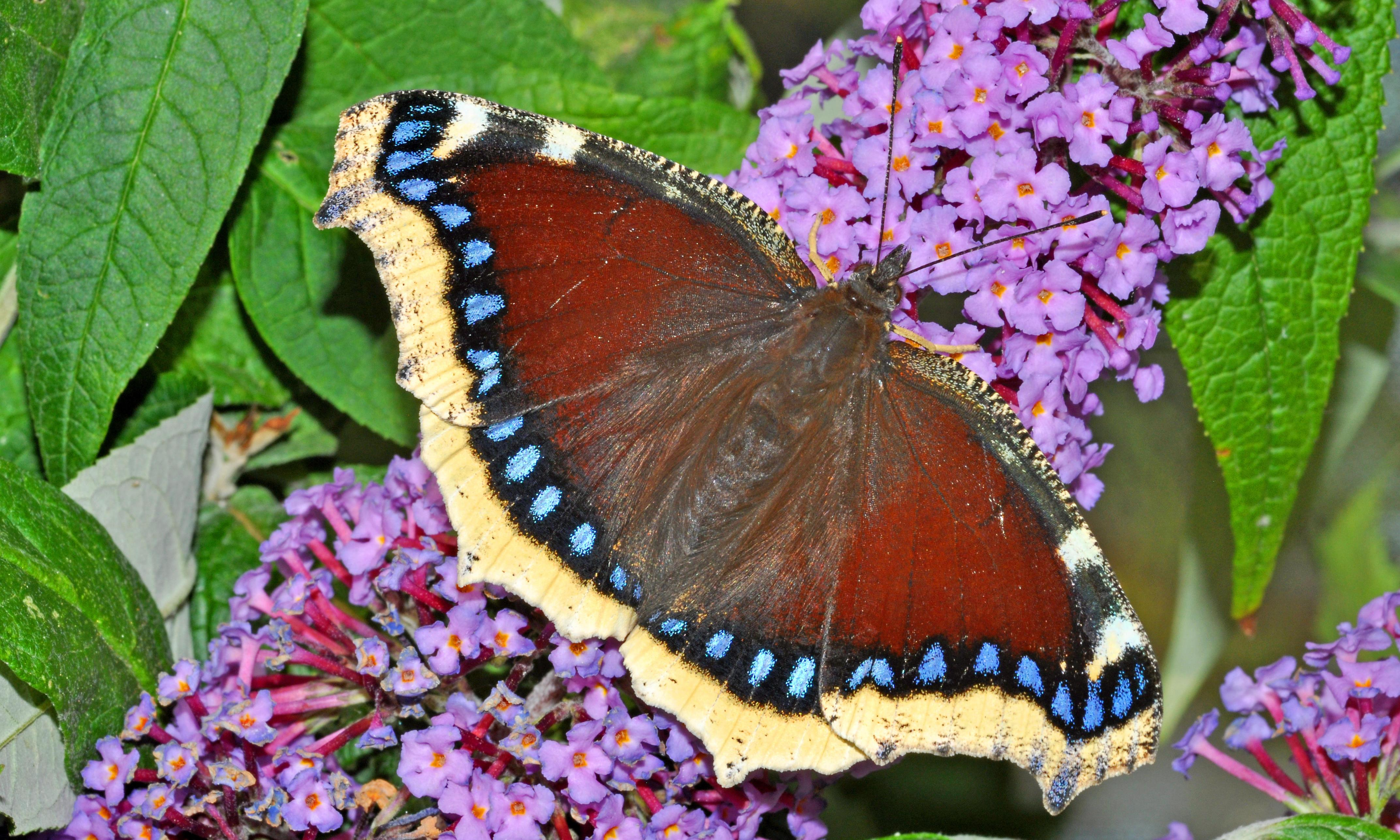 The butterfly bush thrives in London