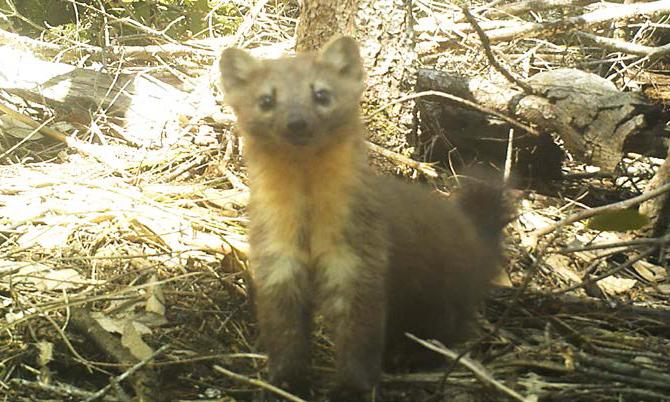 Cannabis growth is killing one of the cutest (and fiercest) creatures in the US