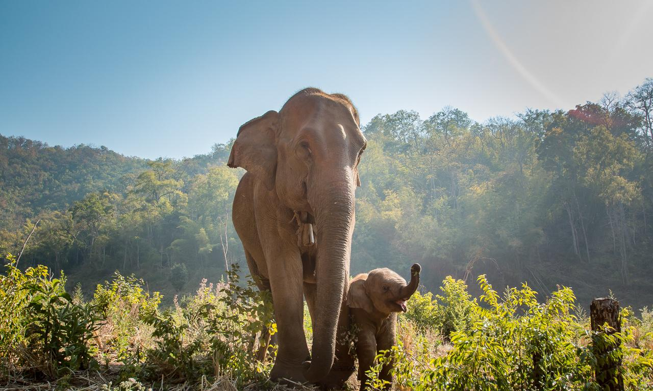 Thailand's elephants say goodbye to the circus – and a life of cruelty