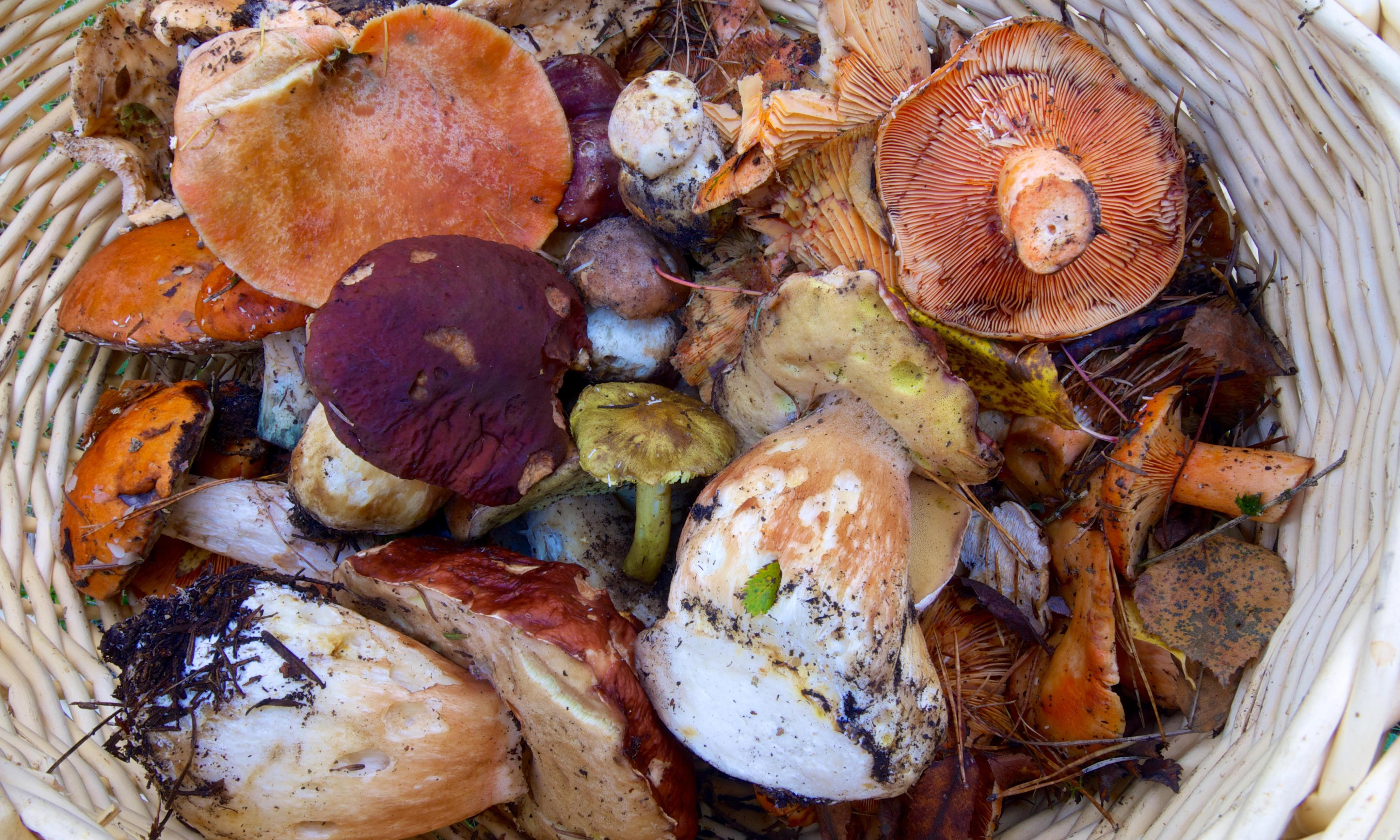 Catalonia's other crisis: dry autumn shrinks wild mushroom crops