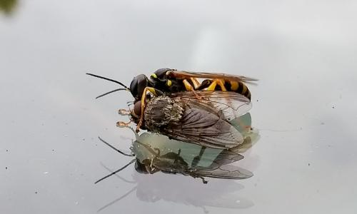 The solitary wasp with forelegs wrapped round the fly.