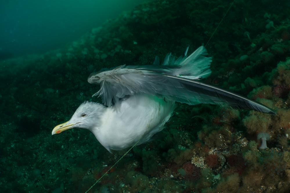 A gull caught up and drowned in ghost fishing line in Norway's Saltstraumen strait, photographed by Galice Hoarau.