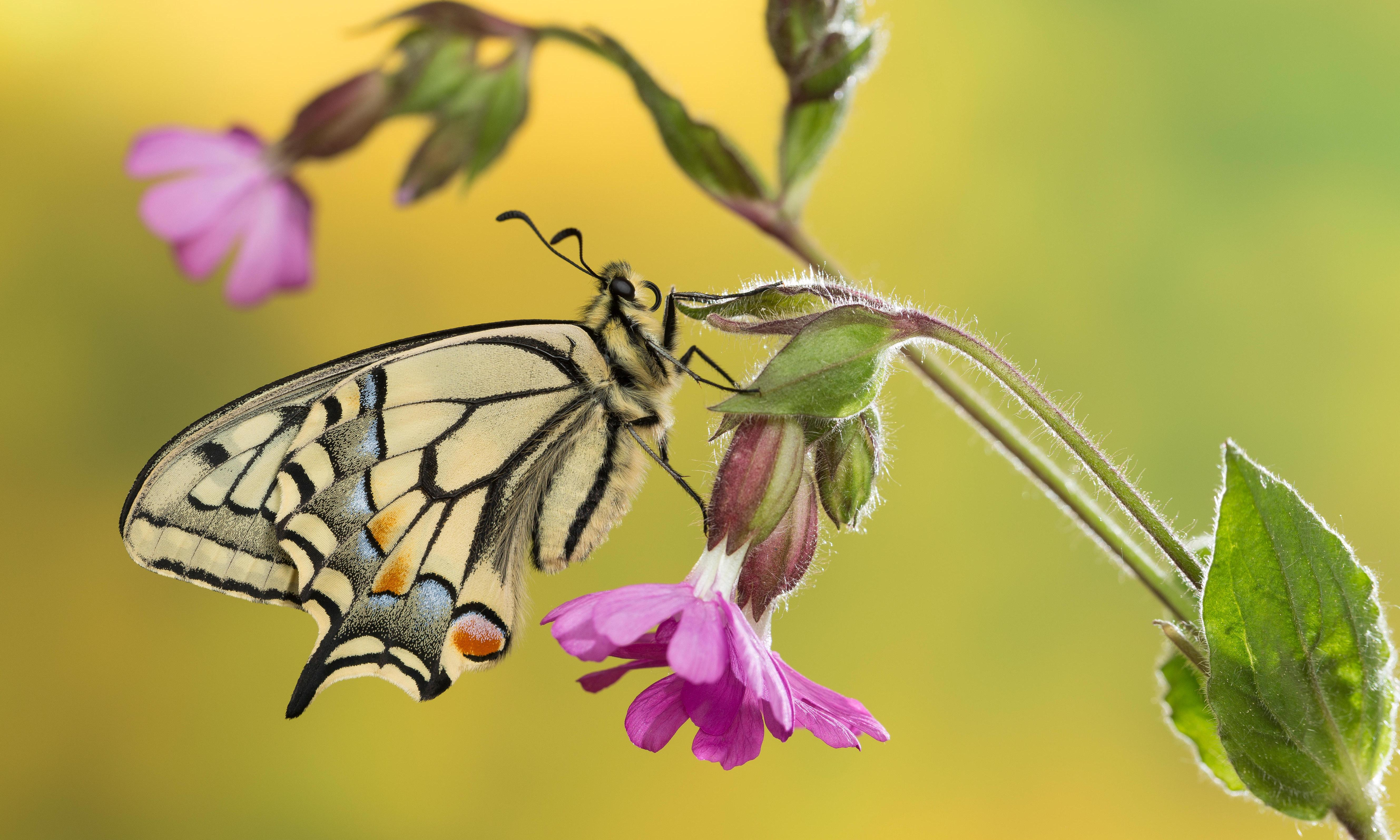 Much persecuted swallowtails dance away unhurt: Country diary, 6 June 1919